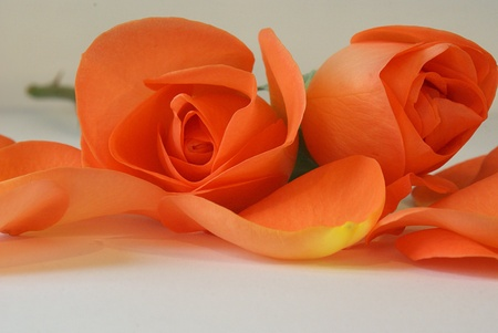 Peach coloured roses and rose petals Stock Photo