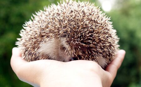 pigmy: An african pigmy hedgehog Stock Photo