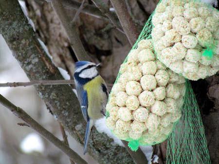 blue tit: M�sange bleue dans le jardin d'hiver