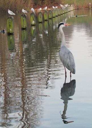 Grey heron and reflection photo