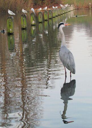 grey heron: Grey heron and reflection