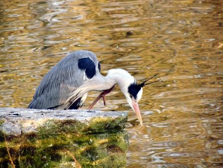 grey heron: Grey heron fishing Stock Photo