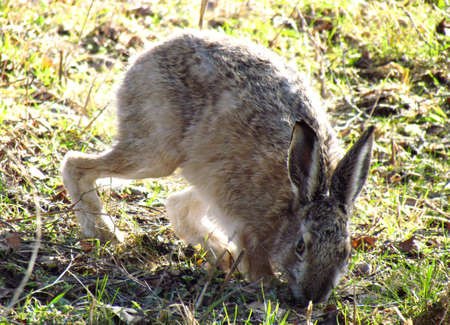 European hare eating photo