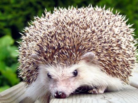 pigmy: Hedgehog on the edge