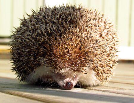 cautious: Pet hedgehog cautious