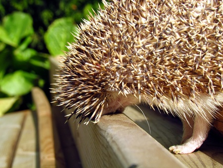 Small hedgehog in the stairs photo