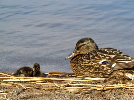 Mallard mother and a baby resting photo