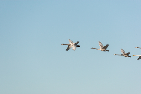 Whooper swans flying in the sky