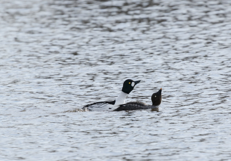 Goldeneye couple mating mating in a lake