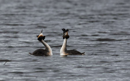 Great crested grebes mating Stock Photo