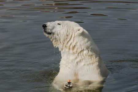 Polar bear eating carrot
