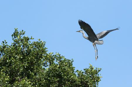 Grey heron landing on a tree top