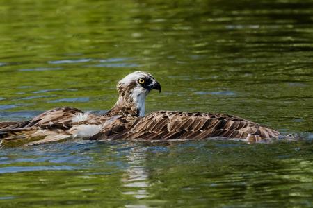 osprey: Osprey fishing on a pond Stock Photo