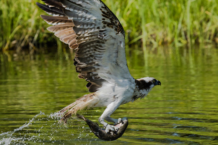 Osprey flying with a big fish Stock Photo