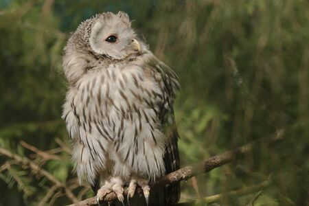 ural owl: Ural owl on a branch in a zoo