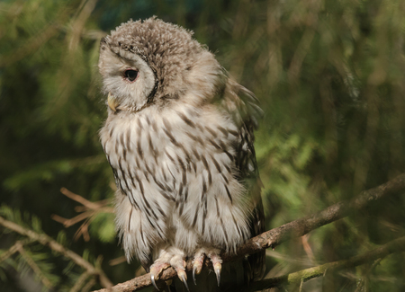 Ural owl on a branch in a zoo