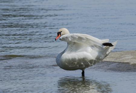 Mute swan dancing on a lake