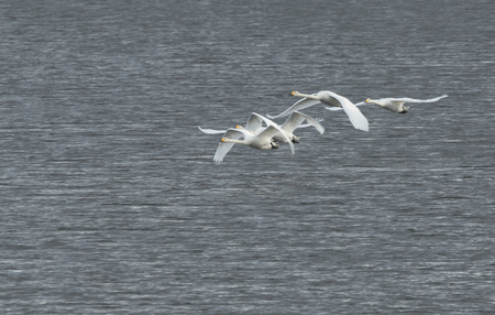 Whooper swans flying up in the blue sky Stock Photo