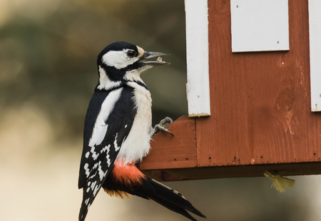 Great spotted woodpecker visiting a feeding place