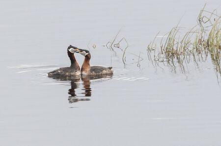 Red-necked grebes mating