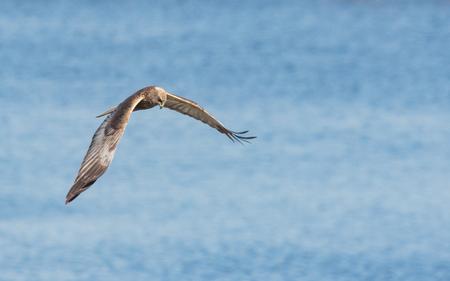 Marsh harrier flying above water