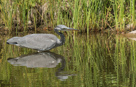Young grey heron standing in water Stock Photo