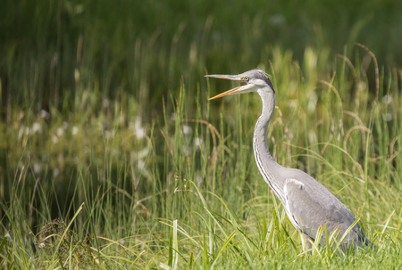 Young grey heron standing its beak open Stock Photo