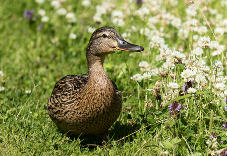 Mallard eating grass on lawn Stock Photo