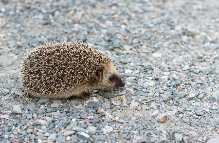 Baby hedgehog in garden Stock Photo