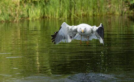 Lesser Black-backed Gull flying