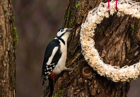 Great Spotted Woodpecker by a feeding place