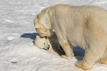 Polar bear baby and mom playing