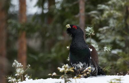 Western Capercaillie in winter