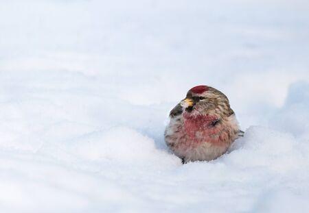 Common redpoll on snow Stock Photo