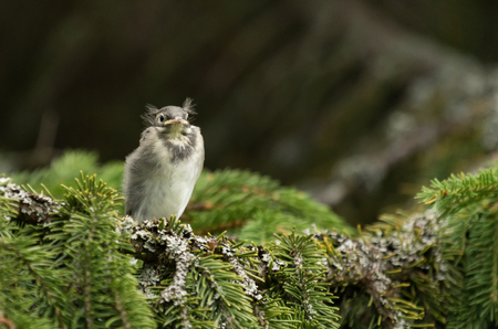 Wagtail baby on a tree branch