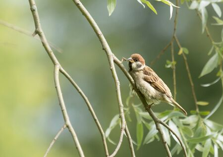 Tree sparrow baby on a branch