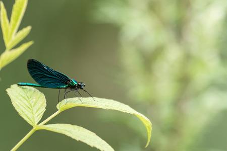 Male demoiselle on a branch