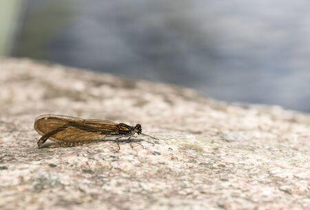 Female demoiselle on a rock