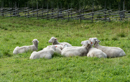 Sheep resting on a field