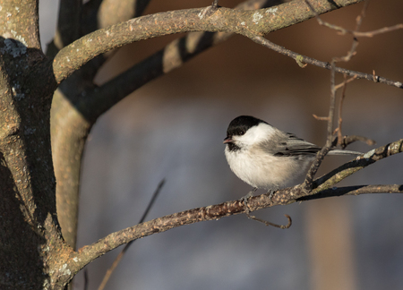 Willow tit on a branch Stock Photo