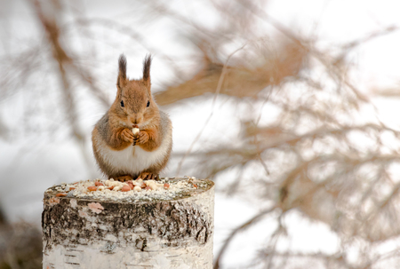 Red squirrel on a feeding place Stock Photo