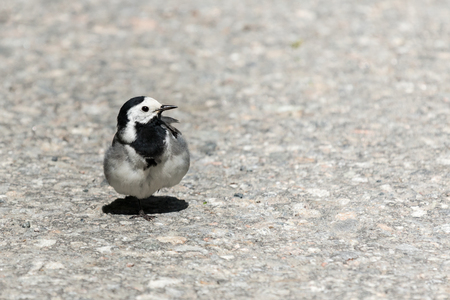 Wagtail standing still