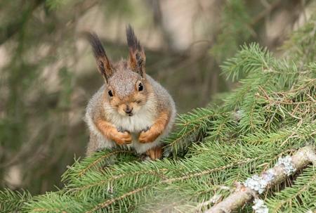 Red squirrel on a spruce branch Stock Photo