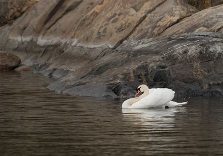 Mute swan at archipelago Stock Photo