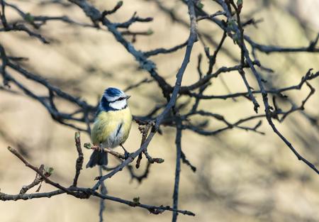 Blue tit in springtime