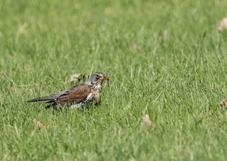 Filedfare with a catch in a beak