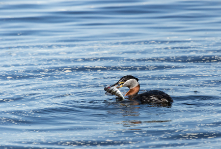 Red-necked Grebe and a perch