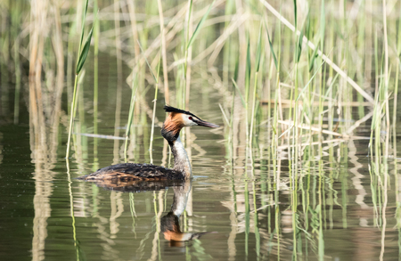 Great Crested Grebe swimming in a lake Stock Photo