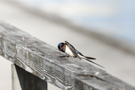 Barn swallow on a dock