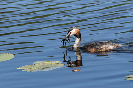 Great Crested Grebe and nest building material